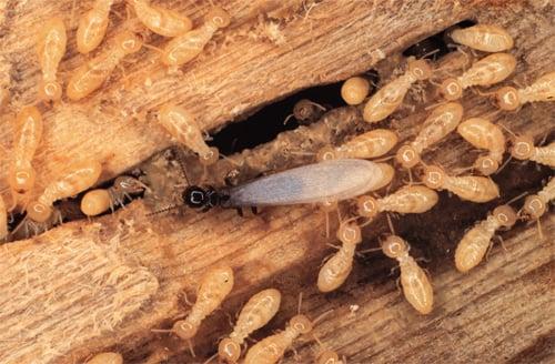 Subterranean_Termites.jpg